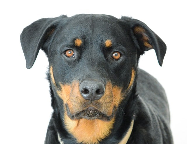 young rottweiler close-up