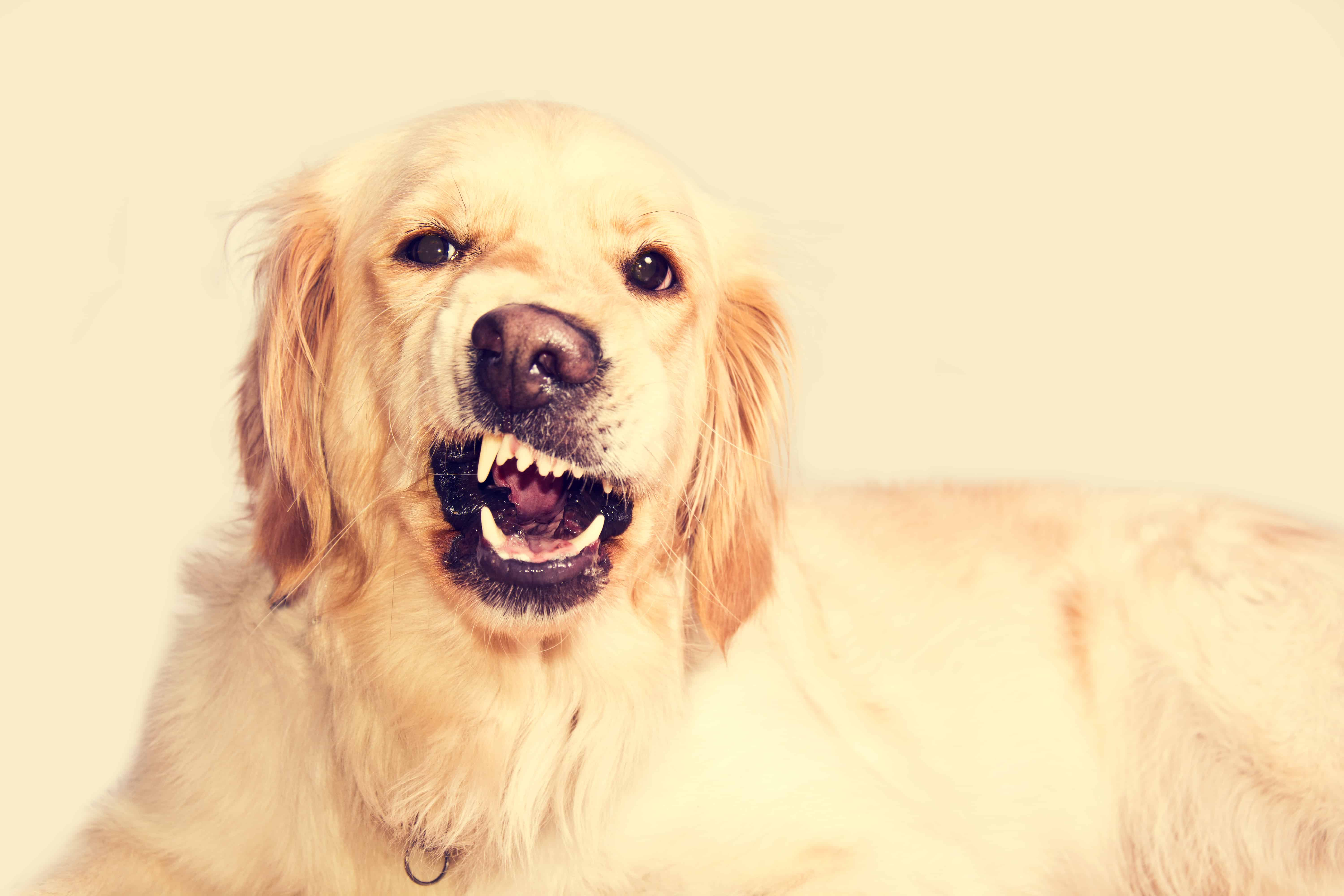 Angry golden retriever dog