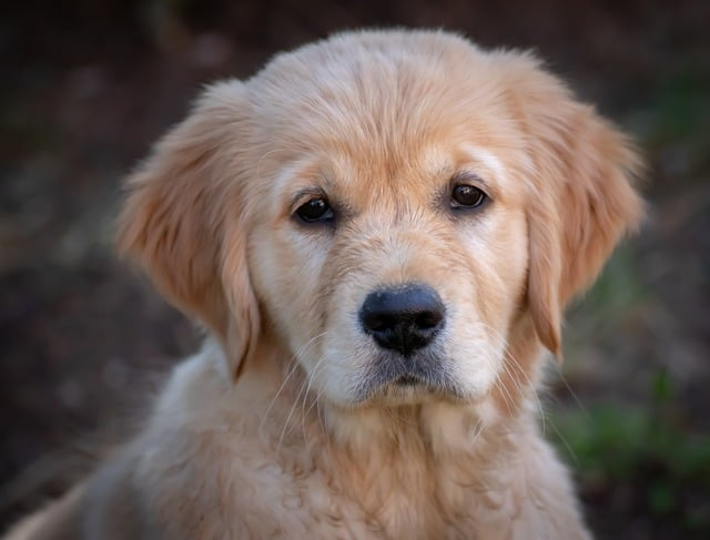 Golden Retriever puppy outside