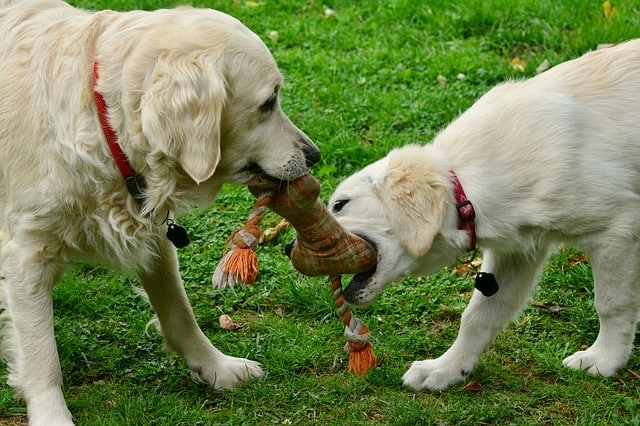 2 dogs playing on grass
