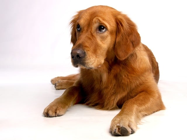 senior golden retriever on white floor
