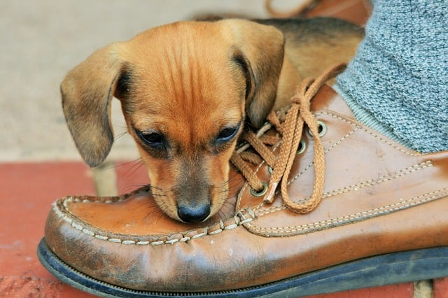 brown puppy chewing on shoe