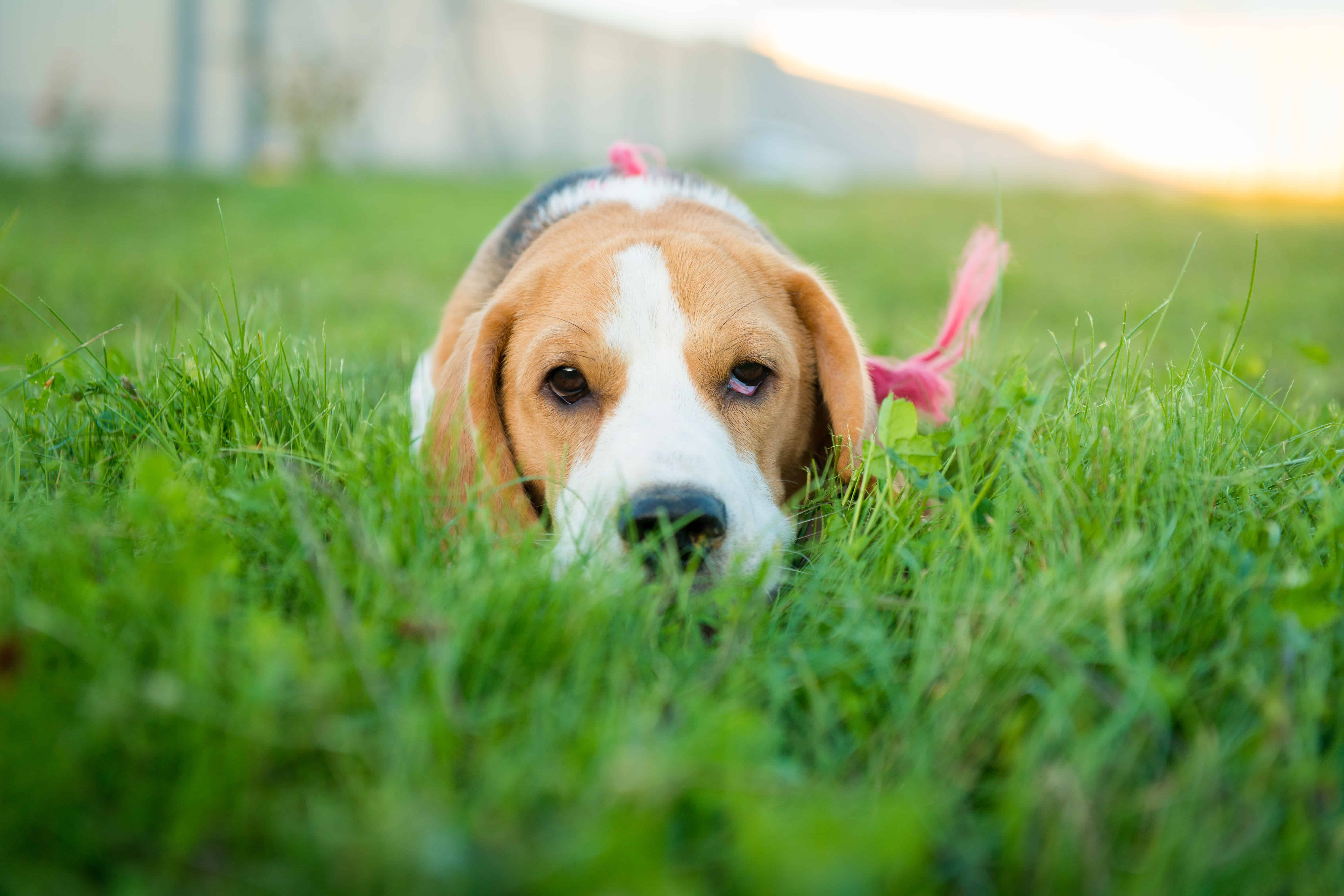 beagle posing outside on grass
