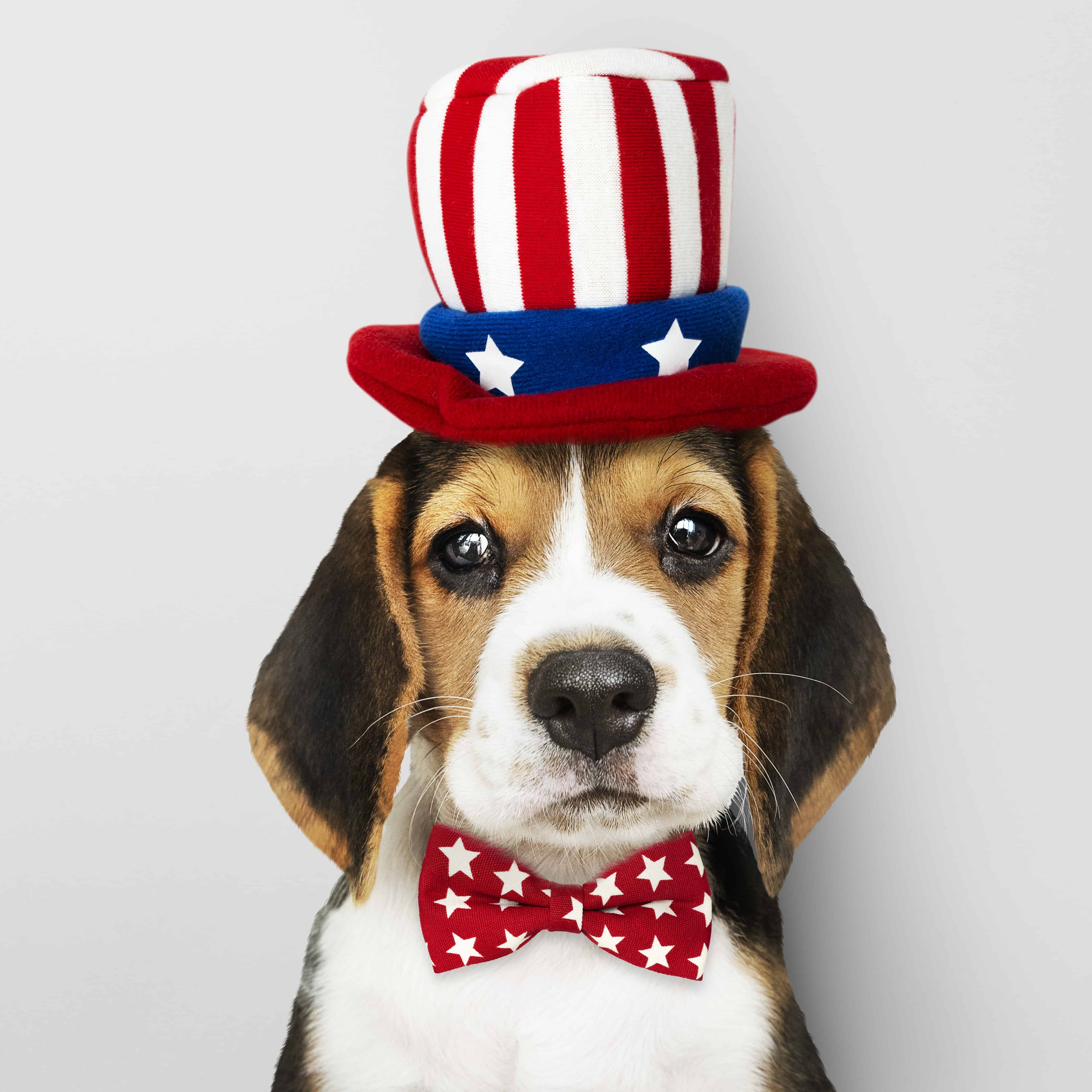 puppy in Uncle Sam hat