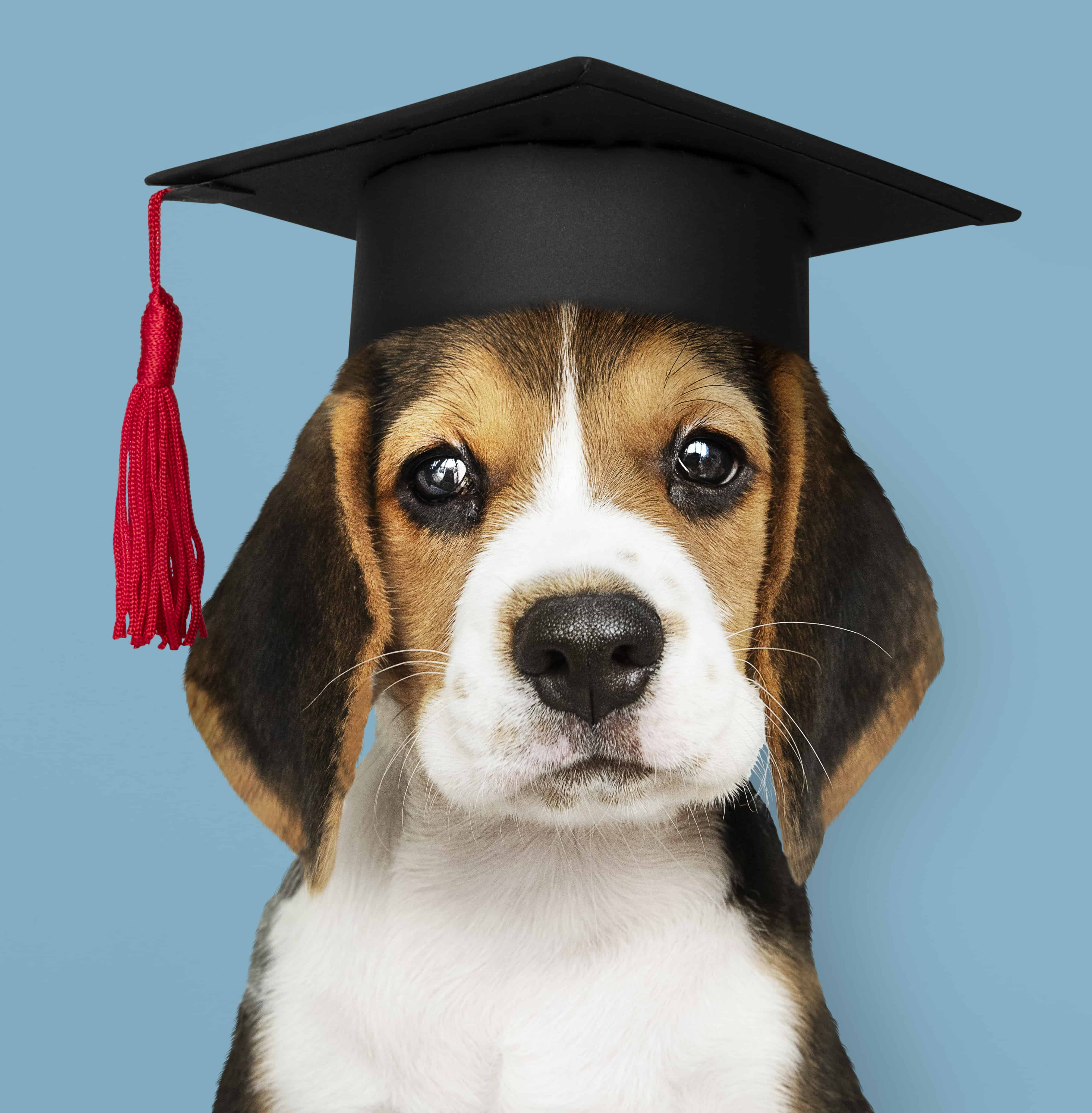puppy wearing graduation cap