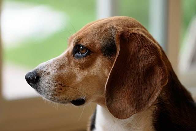 profile picture of beagle inside