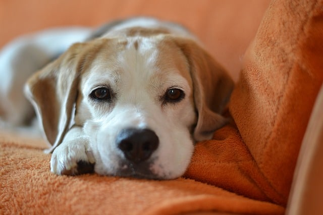 beagle laying on orange blanket